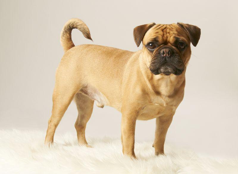 tiermodellagentur ute woelki modellagentur f r tierische fotomodelle franz sische bulldogge. Black Bedroom Furniture Sets. Home Design Ideas