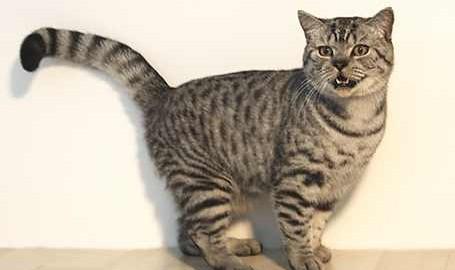 British Kurzhaar Katze - Whiskas