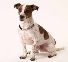 """Tiermodell Jack Russel Terrier """"Jimy"""""""