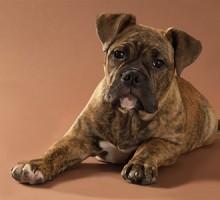 """Olde English Bulldogge """"Leyla"""""""