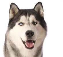 Sibirian Husky - Damon