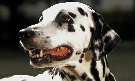 Dalmatiner Amelie