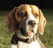 Beagle - Snoopy