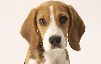 "Tiermodell Beagle ""Diego"""
