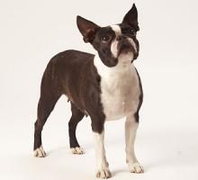 "Tiermodell Boston Terrier ""Tracy"""