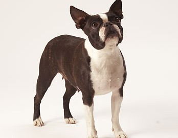 "Tiermodell Boston Terrier ""Tracy"""