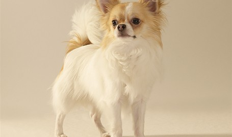 "Tiermodell Chihuahua ""Rikki"""