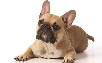 """Tiermodell Französische Bulldogge """"Alice"""""""