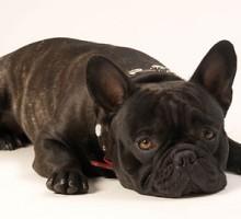 """Tiermodell Französische Bulldogge """"Duke"""""""
