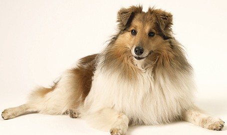 "Tiermodell Sheltie ""Lilly"""