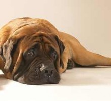 Old English Mastiff - Junior