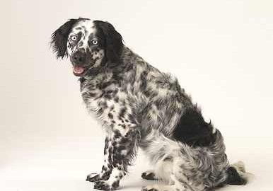 Border Collie Springer Mix - Leyla