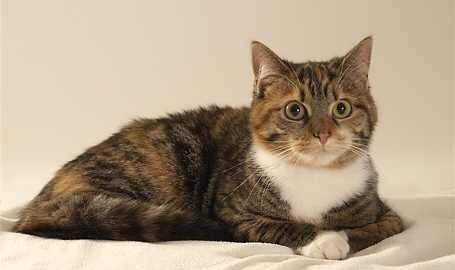 Italienische Hauskatze - Zoe