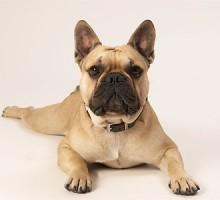 """Tiermodell Französische Bulldogge """"Jasper"""""""