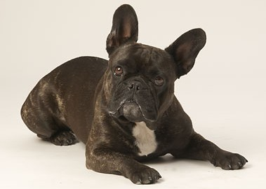 "Tiermodell Französische Bulldogge ""Roxy"""