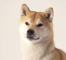 "Tiermodell Shiba Inu ""Genji"""