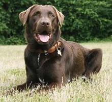 Labrador - Lui
