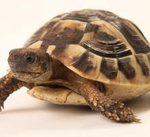 Griechische Landschildkröte - Herbie 03