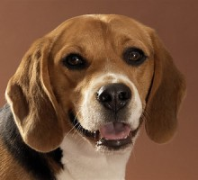"Tiermodell Beagle""Timo"""