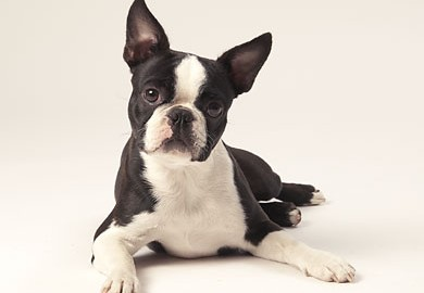"Tiermodell Boston Terrier ""Lady"""