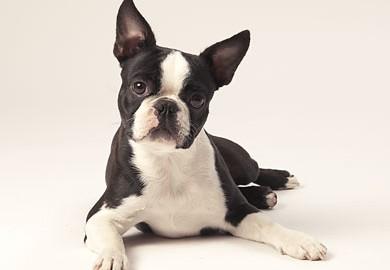 "Tiermodell Boston Terrier ""Lady"""