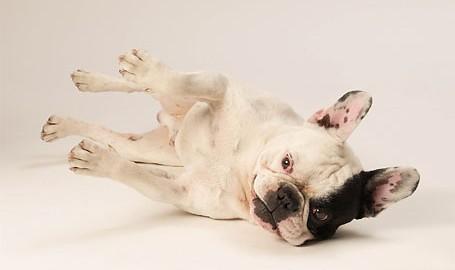 "Tiermodell Französische Bulldogge ""Brain"""