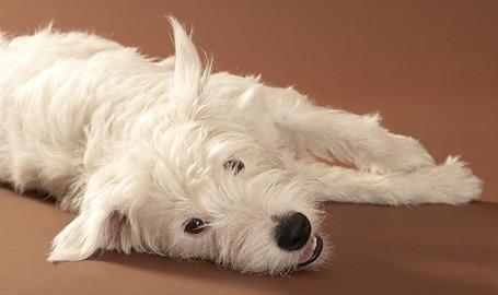 "Tiermodell Parson Russel Terrier ""Balou"""