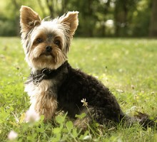 """Tiermodell Yorkshire Terrier """"Charly"""""""