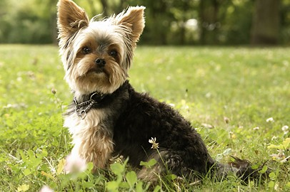 "Tiermodell Yorkshire Terrier ""Charly"""