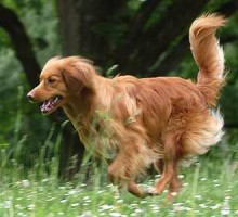 Novia Scotia Duck Tolling Retriever - Kenai