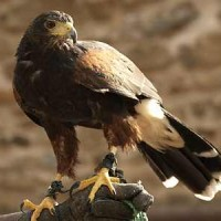 Harris Hawk - Aiyla