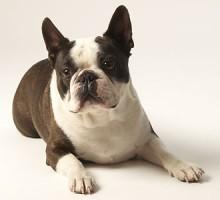 "Tiermodell Boston Terrier ""Brave"""