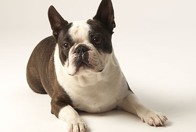 "Tiermodell Boston Terrier ""Brave"""