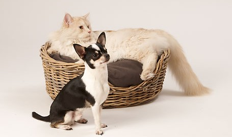"Tiermodell Chihuahua ""Tyson"""