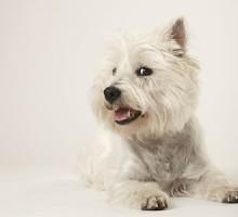 """Tiermodell Westhighland Terrier """"Carlotta"""""""