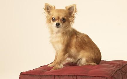 "Tiermodell Chihuahua ""Sydney"""