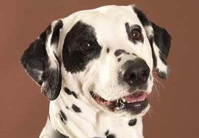 Dalmatiner - Sheila